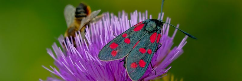 Six spot burnett moth on thistle
