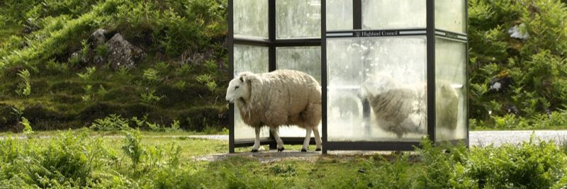 Sheep at bus stop